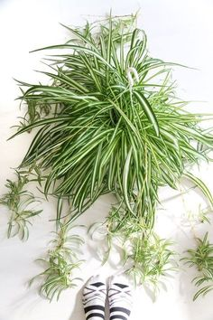 Chlorophytum, air so pure. Chlorophytum, Plants Are Friends, Spider Plants, Office Plants, All Nature, Interior Plants, Indoor Plants, Indoor Gardening, Plant Care