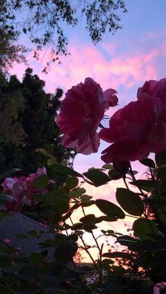 Sunsets Roses A Beautiful Longisland Ny Sunset And Roses Organic Organicgardsn Aesthetic Backgrounds, Aesthetic Iphone Wallpaper, Aesthetic Wallpapers, Aesthetic Roses, Sky Aesthetic, Aesthetic Drawing, Aesthetic Vintage, Summer Aesthetic, Roses Photography