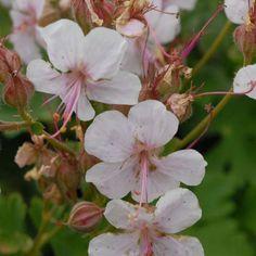 2015 - Geranium cantabrigiense 'Biokovo'