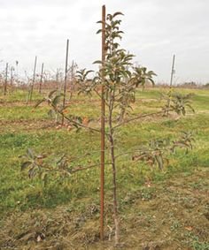 Fruit Trees a Try Tips for starting a backyard orchard. I'll definitely have an orchard on my farm.Tips for starting a backyard orchard. I'll definitely have an orchard on my farm. Fruit Garden, Garden Trees, Vegetable Garden, Edible Garden, Outdoor Plants, Outdoor Gardens, Growing Fruit Trees, Growing Plants, Homestead Farm