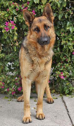 Sheba von Scheer is a stunning 18 month old black and red German Shepherd.