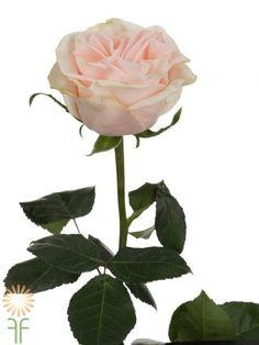 Wedding Spirit Roses l Wholesale Flowers & DIY Wedding Flowers Diy Wedding Flowers, Wedding Bouquets, Blush Roses, Blush Pink, Colorful Flowers, Pink Flowers, Rose Online, Cream Blush, Plant Leaves