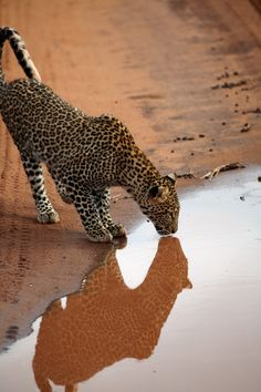 Leopard In Reflection