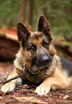 #Allhailtheking #GermanShepherd #Ilovemydog