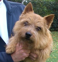 Sim is an adoptable Norwich Terrier Dog in Lafayette, CA. Sim is a purebred, AKC registered Norwich Terrier. He just turned 8 on Dec He is a neutered male that had been used for stud for many yea. Looks like Preston when he was young. Norwich Terrier Puppy, Terrier Dogs, Cairn Terriers, Terrier Mix, Cute Puppies, Cute Dogs, Animals And Pets, Cute Animals, Norfolk Terrier