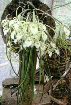 Orquídeas  ❤