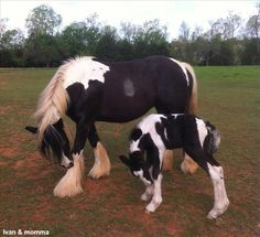 Gypsy Vanner Stallion For Sale in Oklahoma