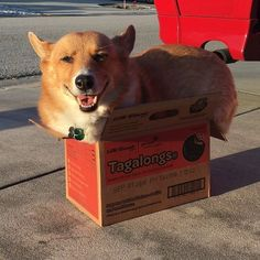 Corgdad got his girl scout cookies! My booty doesn't quite fit but I still sits.