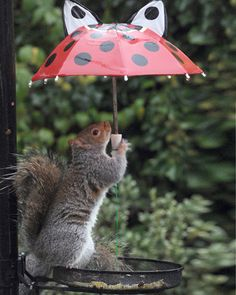 """Staying dry: The cheeky squirrel has got the hang of using the little ladybird umbrella holding it over the birds seed tray to keep them dry.""  [Photograph by Mike Walker Pictures]'h4d'121103"