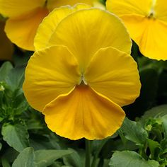 Pansy, Cool Wave Yellow