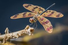 Dragonfly smartphone app to help expand knowledge of insect in ...