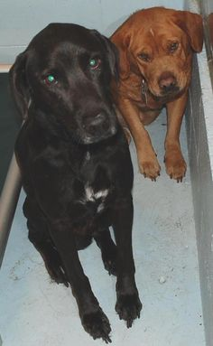 "FLORIDA - URGENT__SOS__ HELP!   NEEDS ADOPTION OR RESCUE COMMITMENT ASAP!!!  D-9960 ""Deja"" Pit/Lab Mix, brown, 8 years, female. 50lbs, owner released – owners have ""baby on the way"",  came with D9961.    D-9961 ""Hershey"" Lab Mix, black and white, 4 years, male (neutered), came with D9960.     Pasco County Animal Services (Tampa Bay,  19640 Dogpatch Ln.  Land O'Lakes, FL 34638. Email to adoptionpartners@pascocountyfl.net  The subject MUST be IN CAPS: ATTN DO NOT EUTH (ID#____)."