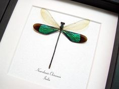 Real Framed Emerald Damselfly Dragonfly Museum Display 7797M
