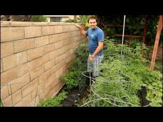 Growing Tomatoes against a Wall on Trellis with California Gardener
