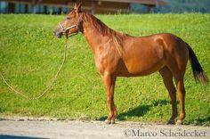 Quarter Horse Stute zu verkaufen (siehe Video) - Pferde kaufen in Brederis…
