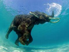 """Este elefante asiático estava tomando um banho quando o fotógrafo americano Jeff Yonover o flagrou. Yonover conseguiu retratar o exato momento em que a tromba do elefante funcionou como um """"snorkel"""". (Foto: Jeff Yonover)"""