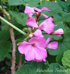 Variedad rosa de un geranio, género Geranium
