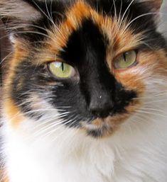 Calico Cats are so pretty. Each so unique. I just lost my beautiful Cameo