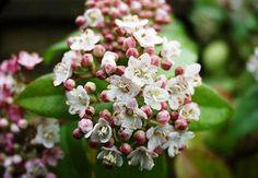 VIBURNUM tinus 'Eve Price' (BP8/BG9/1.3L) ↕ 1.80 m ↔ 1.50 m. Port compact, boutons floraux roses. Floraison de janvier à avril. Zone USDA 7b(-15°C)
