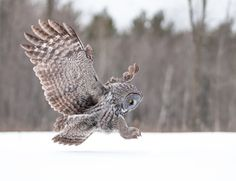 Soft landing - A great gray owl comes in for a landing in the snow.