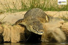 Did you know? A #crocodile cannot stick out its tongue!