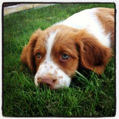 Brittany puppy #finnthepuppy