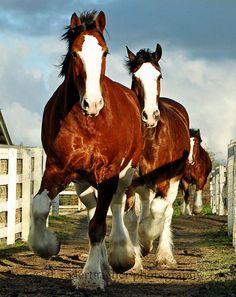 The Budweiser Clydesdales. Clydesdale Horses Budweiser, Percheron Horses, Breyer Horses, Andalusian Horse, Arabian Horses, Big Horses, Work Horses, Show Horses, Black Horses