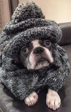 Everything we all respect about the Playfull Boston Terrier Baby Dogs, Dogs And Puppies, Doggies, Chihuahua Dogs, Boston Terrier Love, Boston Terriers, I Love Dogs, Cute Dogs, Terrier Breeds