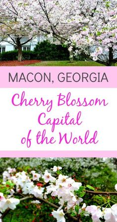 Ditch dreary and drab for the pinkest party on earth in Macon, Georgia! With more than 300,000 trees, Macon has been named the cherry blossom capital of the world.