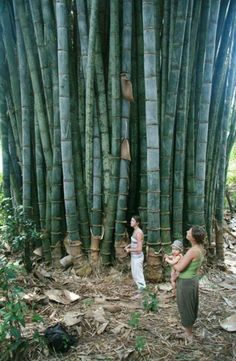 Giant Bamboo, Bamboo Art, Bamboo Crafts, Japanese Plants, Japanese Bamboo, Bamboo House, Bamboo Garden, Bamboo Species, Bamboo Structure