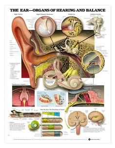 The Ear: Organs of Hearing and Balance Anatomical Chart