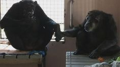 RESCUED CHIMP WHO SPENT 18 YEARS ALONE WON'T LET GO OF NEW FRIEND <3