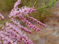 Tamarisk blossom detail