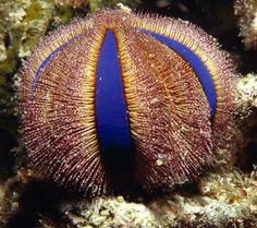 Globe urchin. Photo by Jason Edwards/Getty Images.