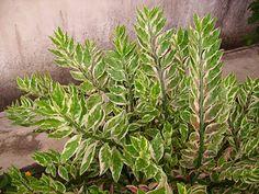 Devil's backbone (Pedilanthus tithymaloides 'Variegatus') Photo: James Missier, Garden Chronicles: Zig Zag Plant