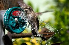 We love this photo by Cathy Scott of a hummingbird enjoying a bath! Check out the video she captured too! birdsandblooms.com