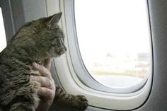 Traveling with pets on a plane might not be as bad as you think. Learn where airlines put pets on a plane and what your cuddly baggage's options are. Kelso And Jackie, Moving Cross Country, All Airlines, Adventure Cat, Cat Perch, By Plane, Plane Ride, Looking Out The Window, Pet Travel
