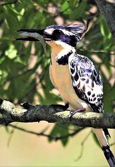 (Rare) Kibusi Kingfisher