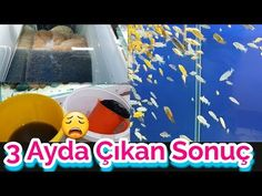 KOVA KOVA PİSLİK ÇIKTI AMA SU HALA BERRAK, akvaryum temizliği Cichlid Aquarium, Aquarium Fish, Guppy, Cichlids, Birth, Cleaning, Youtube, Home Cleaning, Youtubers