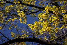 White Ash at sign (Fraxinus americana)