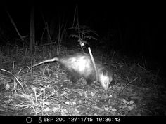 11/13/2015: old crooked tail opossum was at it again eating the cat food I laid out in front of the wildlife cam at the roberd's dairy farm.