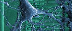 A neuron growing on a silicon chip