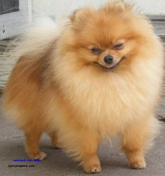 pomeranian dog pictures | Recent Photos The Commons Getty Collection Galleries World Map App ...
