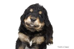 A Bernedoodle encompasses all of the most amazing qualities of both the Bernese Mountain Dog and Poodle. They are devoted, nurturing, intelligent, silly and energetic. Visit our website! Bernedoodle Puppy, Carly Simon, Janis Joplin, Puppy Eyes, Jim Morrison, Labradoodle, Family Dogs, Cute Gif, Jimi Hendrix