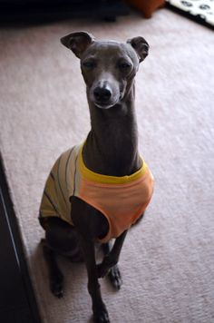 This dog is aware he is cool as fuck. I heart italian greyhounds.