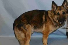 Retired police dog saved by animal rights group | New York Post