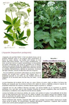 Egopode / plantes sauvages comestibles Plants, Nature, Edible Wild Plants, Permaculture, Edible Plants, Herbs, Wild Edibles, Aromatic, Green