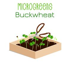 Grow microgreen in a box with soil. Cutting the harvest with scissors. Vegan Recipes, Vegan Food, Buckwheat, Harvest, Illustration, Scissors, Plants, Icons, Box