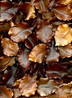fall leaves - brown color and texture inspiration Foto Transfer, Pyrus, Earth Tones, Graphic, My Favorite Color, Autumn Leaves, Golden Leaves, Fall Trees, Color Inspiration