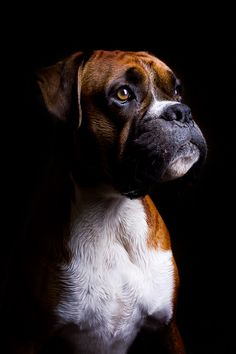 Truly beautiful picture of this boxer!!!